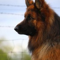 Ryker German Shepherd